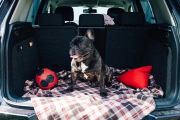 Brindle French bulldog sitting in the trunk of a car on a plaid with a red ball and a pillow in sunny weather, traveling with a dog